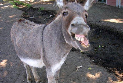 donkey-